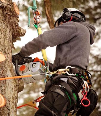 Obžagovanje in podiranje dreves